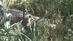 Crocodile hidden in Grass Footage