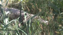 Crocodile Hidden In Grass stock footage