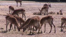 Herd of Impalas Footage