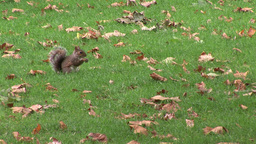 Squirrel in a Park Footage