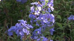 Blue Flowers Footage