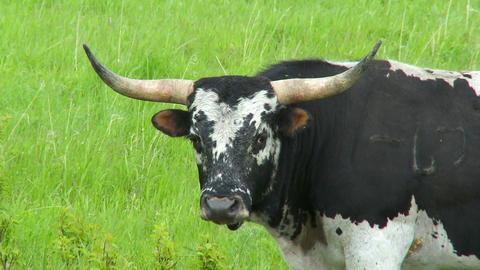 Large Bull Footage