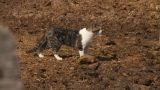 HD2009-9-41RC-1 Farm Cat stock footage