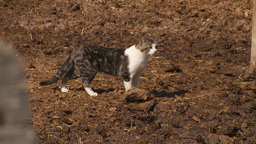 HD2009-9-41RC-1 farm cat Footage