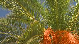 HD2008-8-12-26 Bermuda palm tree Stock Video Footage