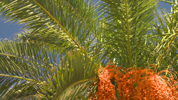 HD2008-8-12-26 Bermuda palm tree Stock Video Footage