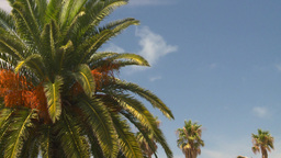HD2008-8-12-32 Bermuda palm tree Stock Video Footage