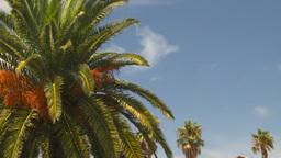 HD2008-8-12-32 Bermuda palm tree Footage