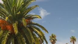 HD2008-8-12-32 Bermuda palm tree Stock Video Footage