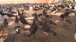 HD2008-8-14-44 San Juan old town pidgeons Stock Video Footage