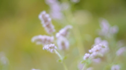 Wild Mentha Stock Video Footage