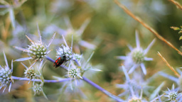 Wild Thorn and Six-spot Burnet Stock Video Footage
