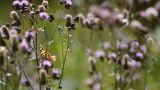 Creeping Thistle stock footage