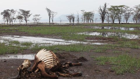 Dead wildebeest on the shores of Lake Naivasha. Ke Footage