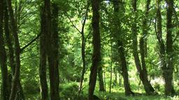 Woods in Killarney Ireland Footage