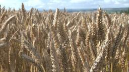 Corn Fields Footage
