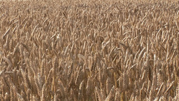 Cornfields Footage