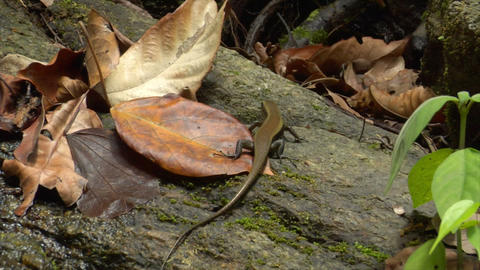 thailand lizard run away slow motion Stock Video Footage