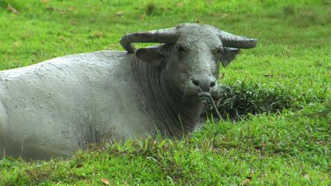 water buffalo ox in mud pool Stock Video Footage