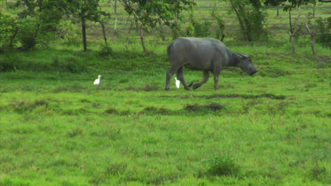 water buffalo ox with 2 white birds Stock Video Footage
