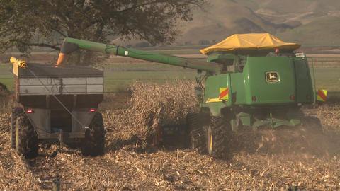 corn harvesting Footage