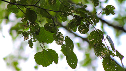 Tree leaves devastated by caterpillars Stock Video Footage