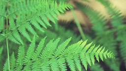 Close up on fern leaves Stock Video Footage