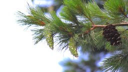 Pine Cones Footage