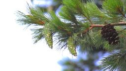 Pine Cones Stock Video Footage