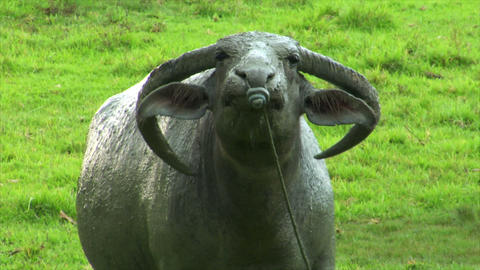 aggressiv water buffalo ox close up Stock Video Footage