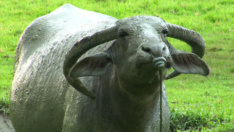 agressiv water buffalo ox close up 2 Stock Video Footage