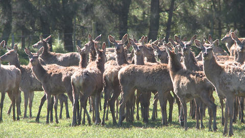 deer herd Stock Video Footage