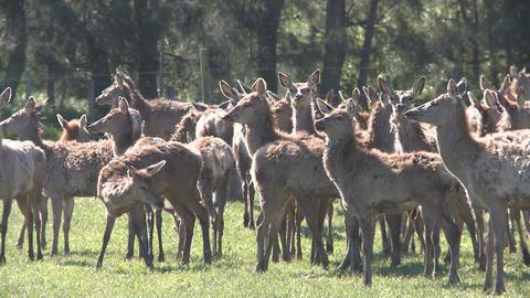 deer herd Stock Video Footage