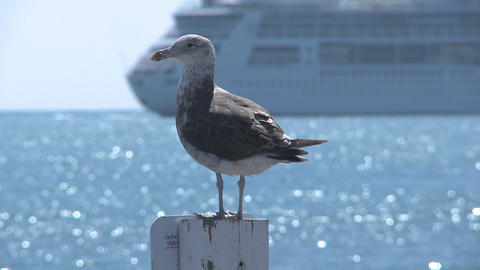 seagull plus cruise liner passing Stock Video Footage