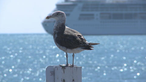 seagull plus cruise liner passing Footage