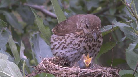 bird settles on nest Footage