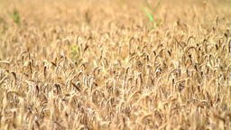 Field Of Ripe Rye Stock Video Footage