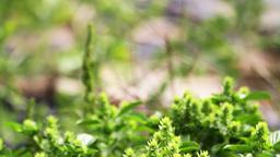 Basilicum Plant Stock Video Footage