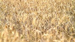 Field Of Ripe Rye Stock Video Footage