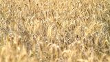 Field Of Ripe Rye stock footage