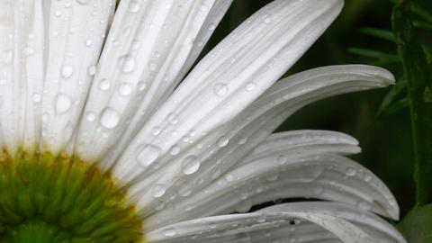 Daisy petals with raindrops Footage