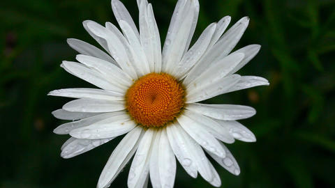 Flower daisy with raindrops Footage