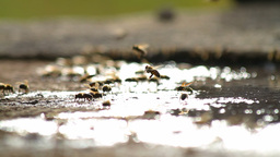 Bees collecting water Stock Video Footage