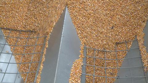 maize flows through wide hopper Footage
