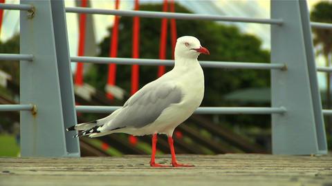 Seagull 02 Footage