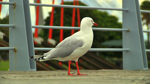 Seagull 02 Stock Video Footage