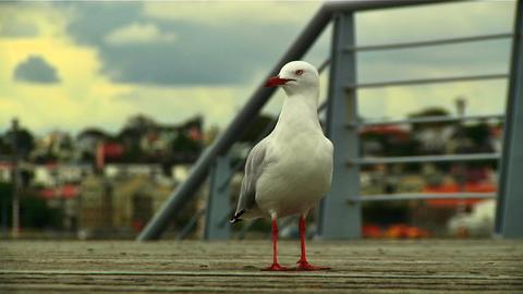 Seagull 04 Footage