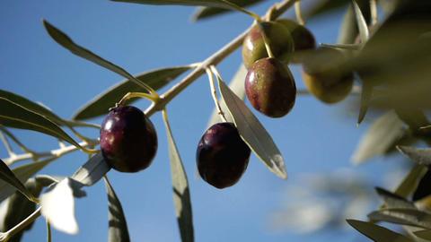 Olive tree 1 Stock Video Footage