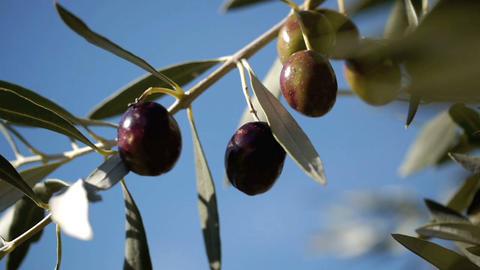 Olive tree 1 Footage