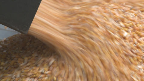 maize close Stock Video Footage